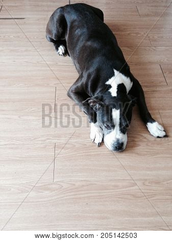 Tired black and white large dog in deep though while laying on wooden floor in the suns heat. boxer mix