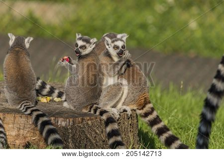 Lemur monkey in sunny summer evening and green background