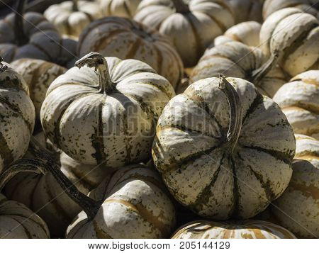 Pile of white green and orange multicolored mini pumpkins