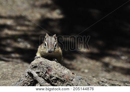 close up of chipmunk looking straight at the camera