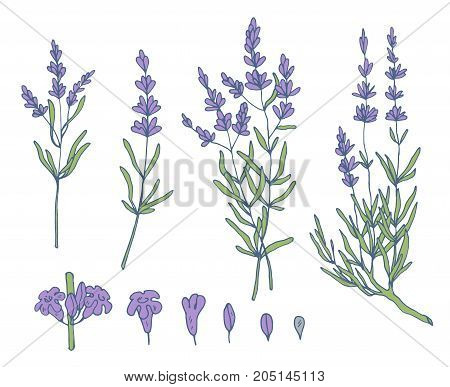lavender sketch vector set, botanical nature background