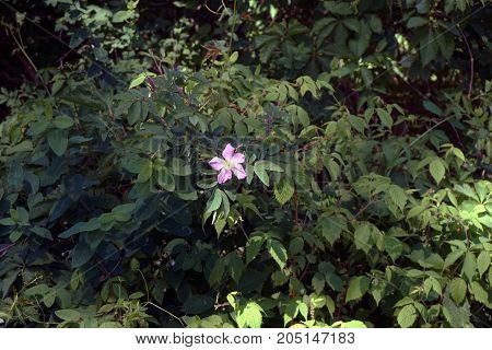 A wild rose blooms in Bay View, Michigan, during June.