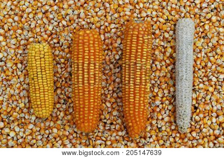 corn cob and corn on many dried corn seed for background