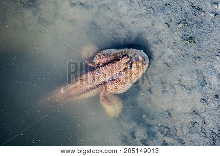 mudskipper fish on the land and sea