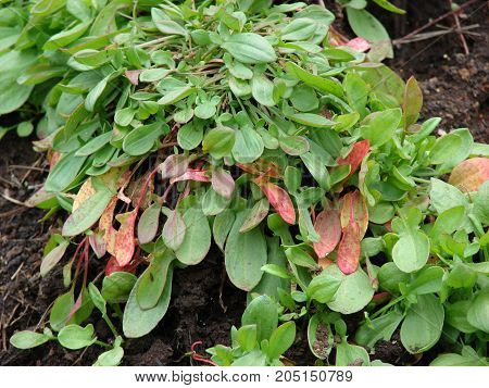 Sorrel is native to Europe and Asia where it still grows abundantly in the wild. As a wild vegetable, sorrel is known to people since prehistoric times. In the world flora of about 200 species. In the middle ages it began to cultivate in the gardens.