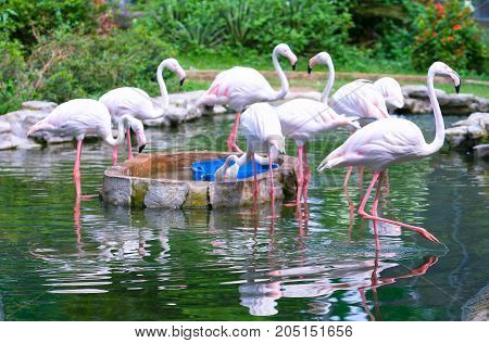 Flamingos are gathering together in the zoo. This is a precious bird that needs to be preserved in the natural world