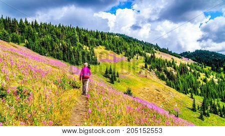 Senior woman on a hiking trail in alpine meadows covered in pink Fireweed flowers during a hike to Mount Tod, near Sun Peaks village in the Shuswap Highlands of central British Columbia