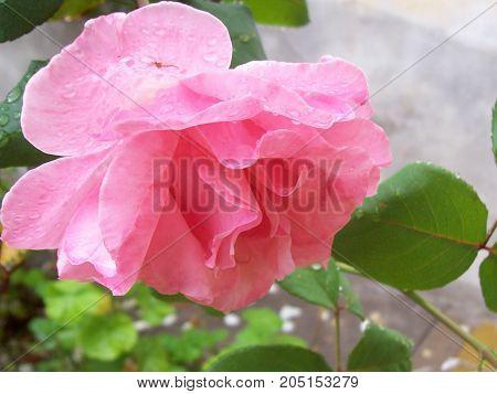 Hermosa rosa de jardin en san juan