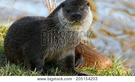Muskrat -- provodnoy animal, a mammal of the rodent family. Because of the similarity with rat and the presence of musk glands, muskrat is also known as