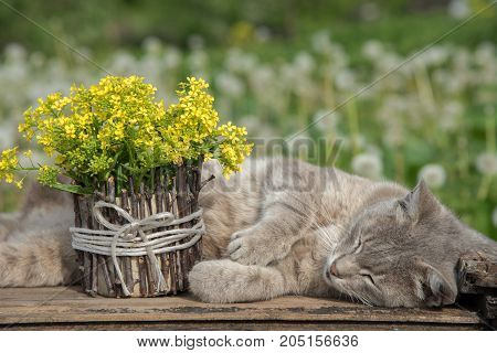 A bouquet of beautiful little yellow blossoming flowers called a rape in a pot decorated with wooden twigs and a cat on a table amid a green meadow in summer