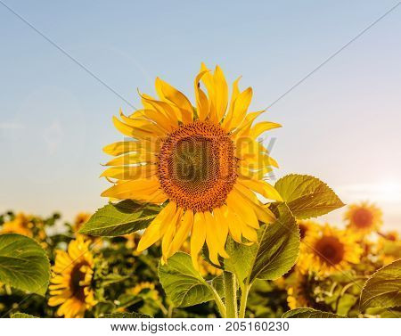 Sunflower natural background Sunflower blooming Sunflower oil improves skin health and promote cell regeneration