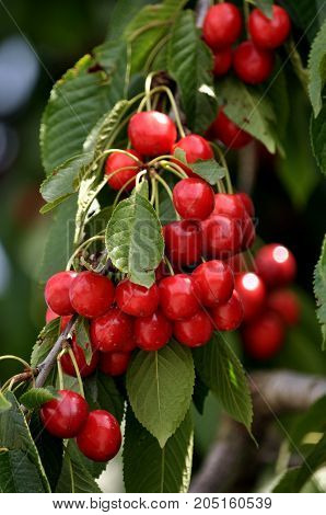 Abundant fruit cherries red light on a branch with green leaves
