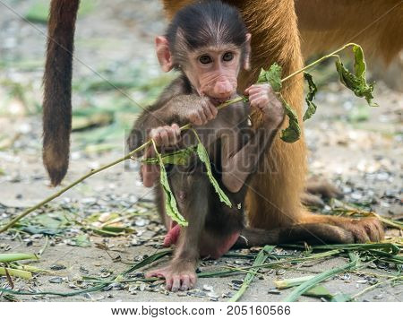 Cute Baby Chacma Baboon playing with branch