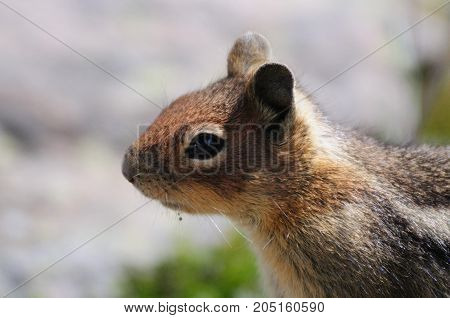 A golden mantled Squirrel sitting on the slopes of mount raineer