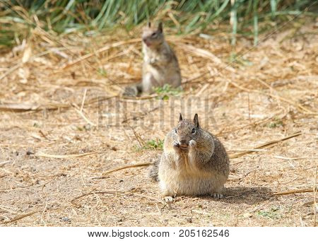 Very plump fat ground squirrel possibly pregnant on sand eating. Another squirrel out of focus in background