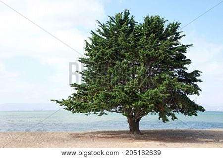Monterey Pine Tree a species of pine native to the Central Coast of California and Mexico growing on the beach in Northern California