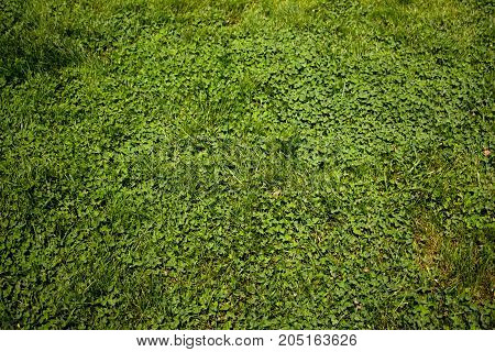 Green small flowers on a meadow in early summer