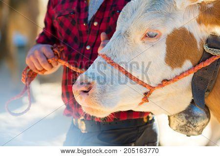 Sad Cow Tied By A Cowboy In A Farm