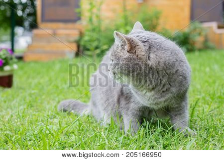 Gray cat on a green lawn. The cat has sat down and has turned back back. On a background a fragment of a rural lodge