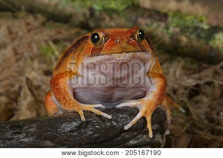 very close showing the full face of a tomato frog facing the camera
