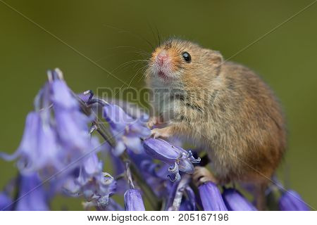 Closeup portrait of a small harvest mouse balancing in the flowers of a bluebell with its snout in the air