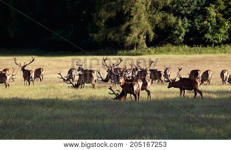 Large Herd of Elks Grazing on a Meadow near Forest
