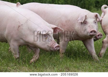 Domestic pigs running across on the meadow rural scene