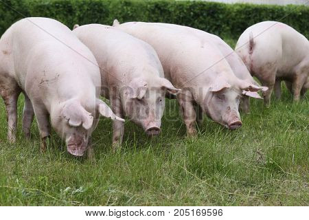 Pink pigs grazing on the meadow. Young domestic breed pigs on natural environment