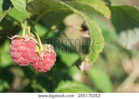 Two ripe raspberries grow in the garden