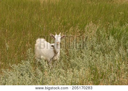 White goat grazes on the dry meadow
