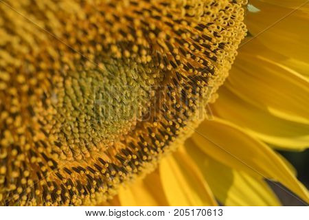 Pistils and stamens of Sunflower; background; texture