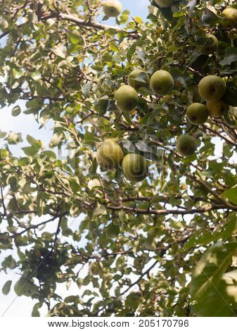 Growing Green Pears On Tree Outside Up Close