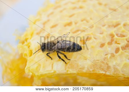 One bee on the yellow honeycomb with sweet honey as a background close up