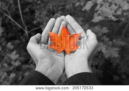 Man in jacket holding small yellow fallen maple leaf in his hands. Golden autumn in park. Blur background of leaves.