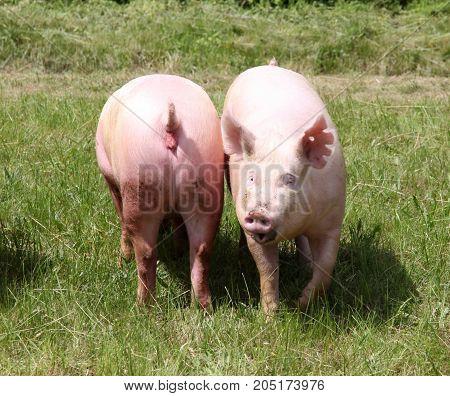 Two Of Growing Domestic Pig Enjoying The Sunshine On Summer Animal Farm