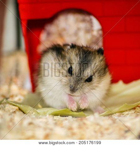 Home Djungarian hamster, Phodopus sungorus, eats cabbage leaf
