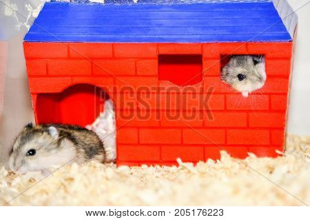 A pair of domestic Dzhungar hamsters in a cage. One sits at the entrance to the house, the other looks out of the window