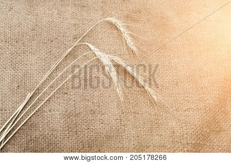 three wheaten spikelet on sackcloth in sunlight