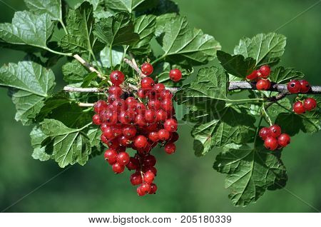 Bunch of red currants fruit on the branch of a bush with leaves