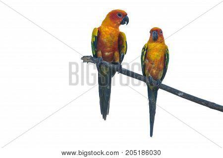 Sun Parakeet Or Sun Conure Parrot