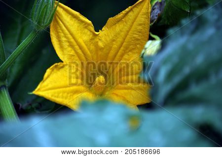 Flower petals and stamens with yellow zucchini fuzzy dark background