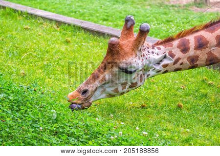 Close up giraffe, eating fresh green grass, reaching it by long tongue