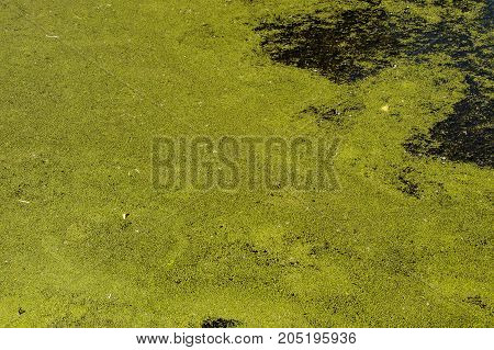Green Duckweed On The Water Surface