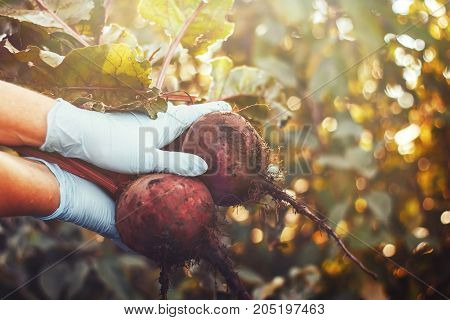 Farmer holding organic beets beetroot with green leaves in hands. Closeup view toned image