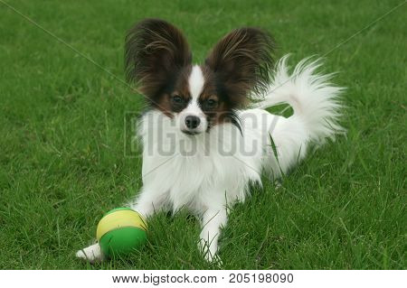 Beautiful young male dog Continental Toy Spaniel Papillon with ball on a green lawn