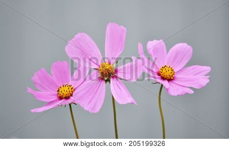 Three delicate pink flowers with yellow stamens fuzzy gray background