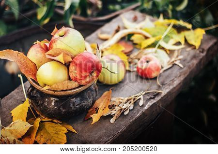 Autumn apple harvest in old ceramic pot. Sunset light. Ecologically grown no pesticides etc. Locally grown.