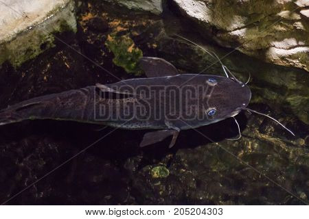 Beautiful Blue-eyed Catfish Under Water View From Above