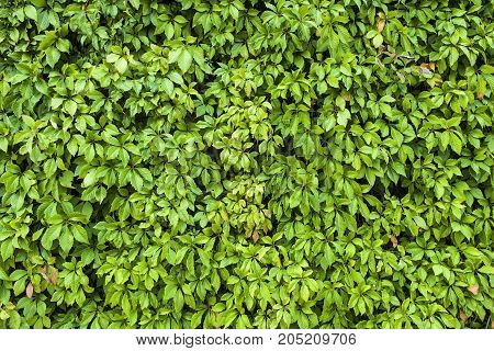 Natural leaves texture of green hedge background.