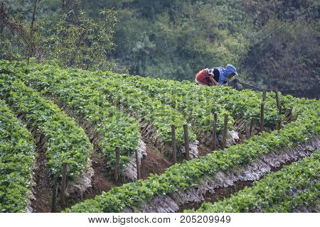 The women doing spraying pesticides at strawberry farm.